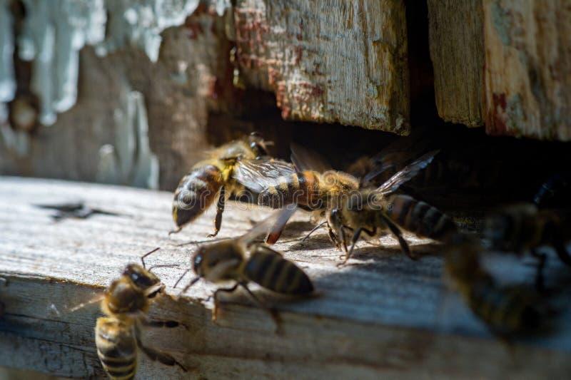 Miodowe pszczoły siedzi na starym, textured drewnie, z bliska zdjęcia stock