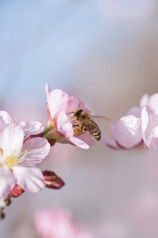 Miodowej pszczoły zbieracki nektar od jabłczanych okwitnięć fotografia stock