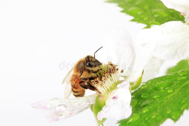 Miodowej pszczoły Jeżynowy kwiat 2 zdjęcie royalty free