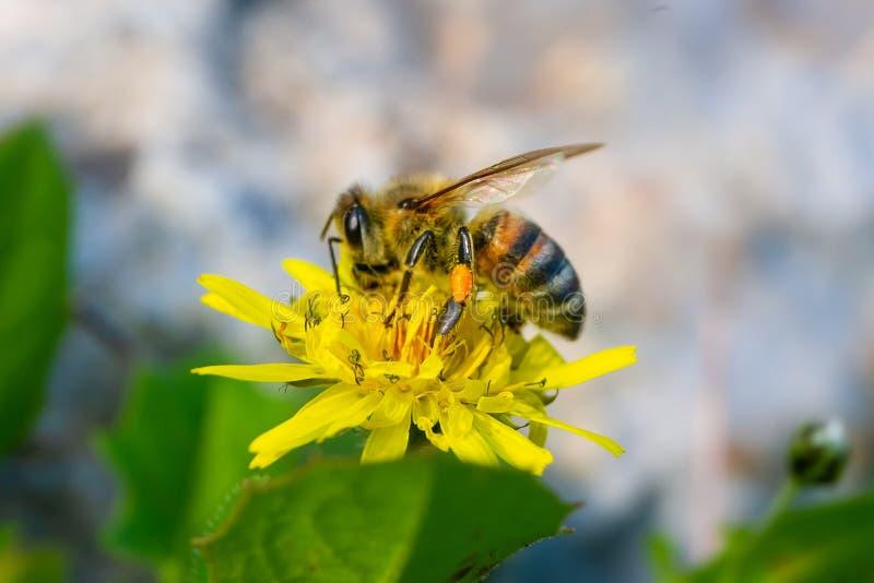 Miodowej pszczoły zbieracki pollen i nektar od Złotej stokrotki kwitniemy Euryops Pectinatus fotografia royalty free