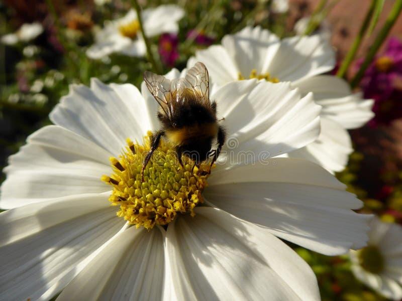 Miodowej pszczoły Zbieracki Pollen od Białego kosmosu obrazy royalty free