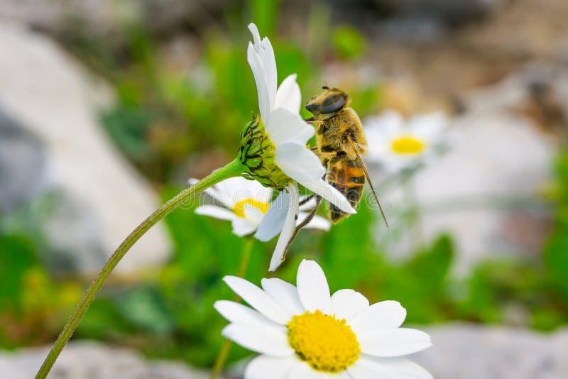 Miodowej pszczo?y zbieracki pollen i nektar od stokrotki Chamomile zdjęcia royalty free