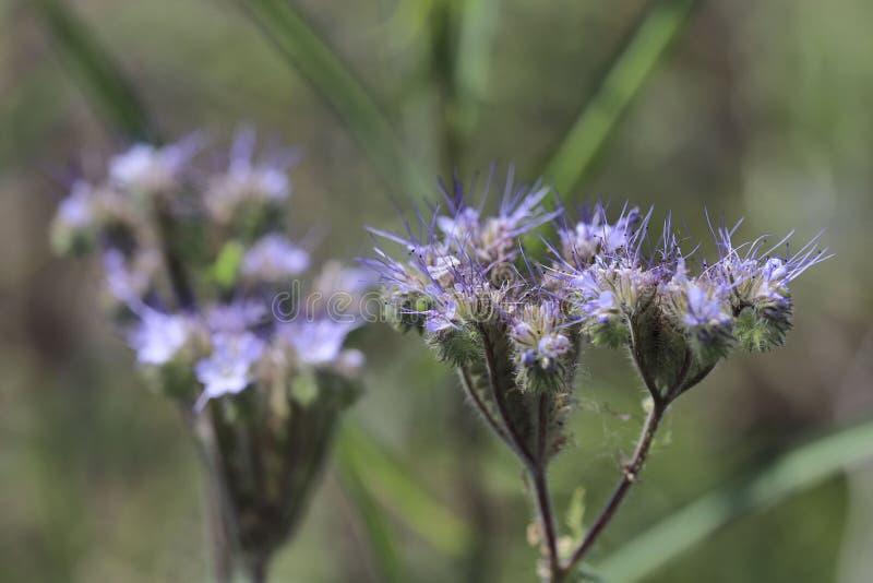 Miodowi kwiaty phacelia na bokeh tle zdjęcia royalty free