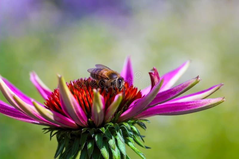 Miodowi pszczół Apis zbiera nektar na purpurowym coneflower Echinacea purpurea obrazy stock