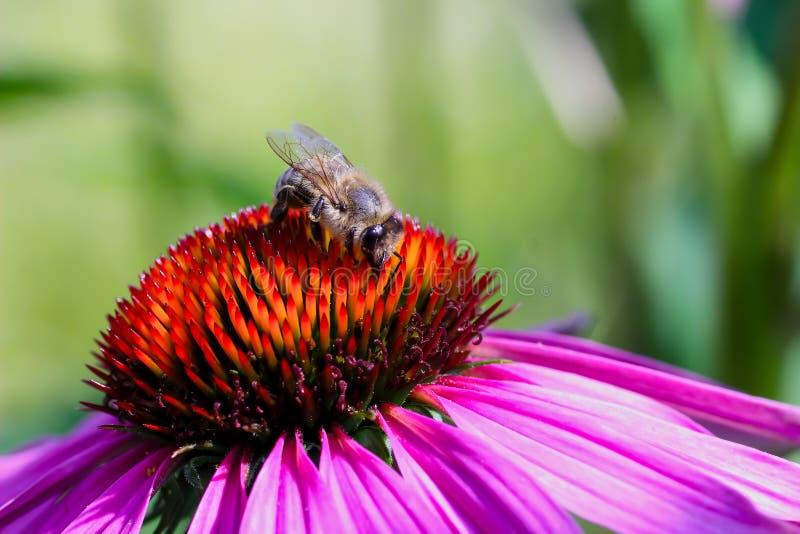 Miodowi pszczół Apis zbiera nektar na purpurowym coneflower Echinacea purpurea obraz royalty free
