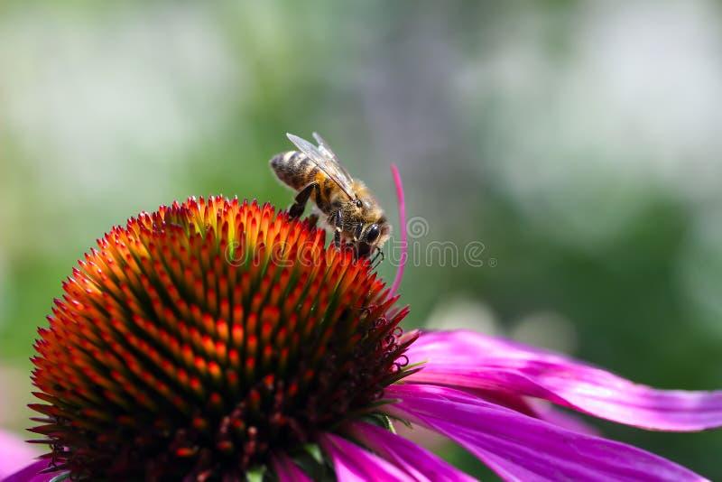Miodowi pszczół Apis zbiera nektar na purpurowym coneflower Echinacea purpurea fotografia royalty free