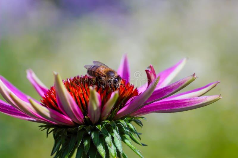 Miodowi pszczół Apis zbiera nektar na purpurowym coneflower Echinacea purpurea zdjęcie royalty free