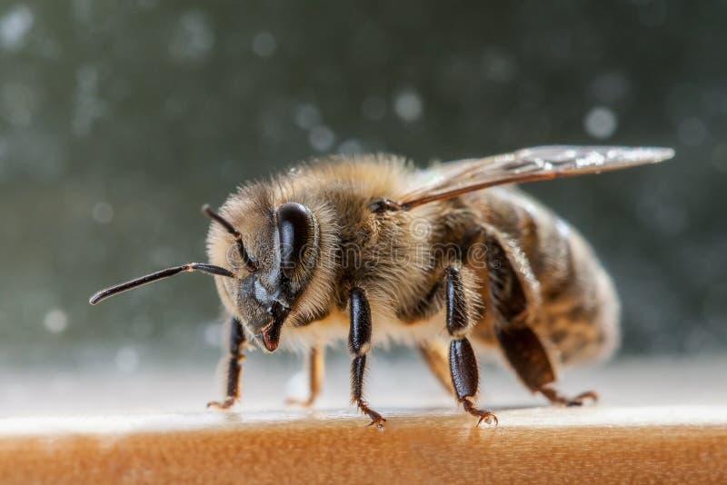 Miodowy pszczół apis mellifera carnica obraz stock