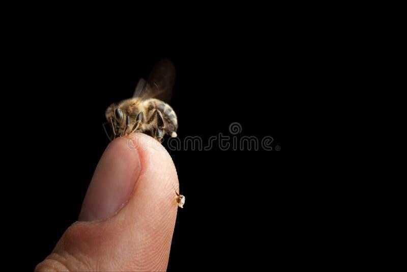 Miodowy pszczół apis mellifera carnica zdjęcie royalty free