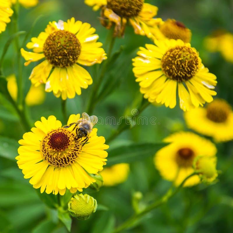 Miodowy pszczoły obsiadanie na żółtym kwiacie w letnim dniu zdjęcia royalty free
