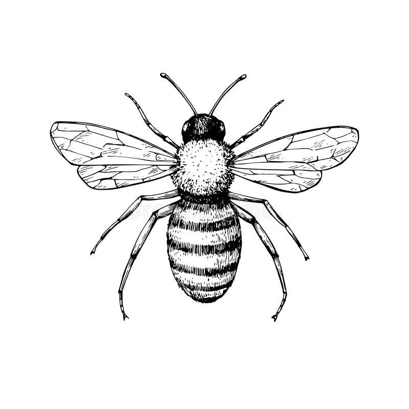 Miodowy pszczoła rocznika wektoru rysunek Ręka rysujący odosobniony insekta ske royalty ilustracja