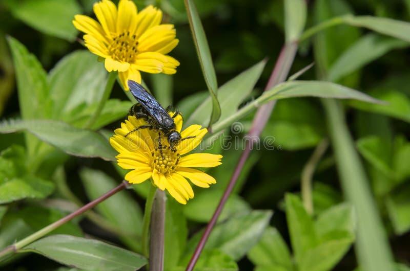 Miodowy pszczoły czerń fotografia royalty free