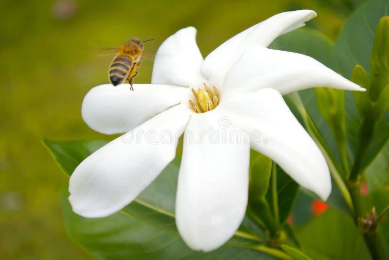 Miodowy pszczoły lądowanie na Tiare Maoryjskim kwiacie w Rarotonga Kucbarskiej wyspie zdjęcie royalty free