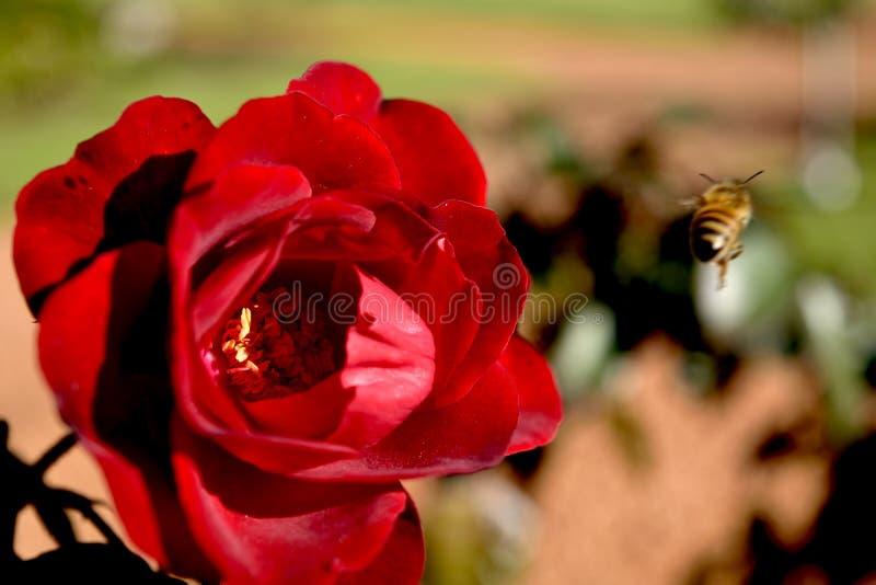 Miodowy pszczoły latania i rewolucjonistki róży Pollen zakończenie zdjęcia royalty free