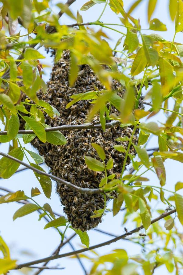 Miodowy pszczoły mrowie w drzewie fotografia royalty free