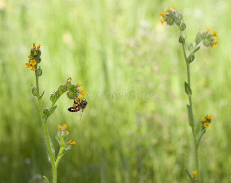 Pszczoły Fiddleneck Wildflower zdjęcie stock