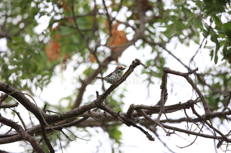 Miombo pied barbet royalty free stock image