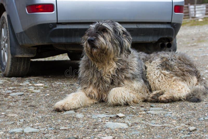 Download Mioritic Romanian Shepherd Dog Guarding A Car Stock Photo - Image: 28497686