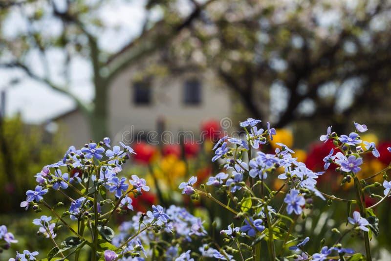Miosótis azuis Myosotis, gramas do escorpião no fundo de tulipas brilhantes e casas, um fundo bonito HOME fotos de stock