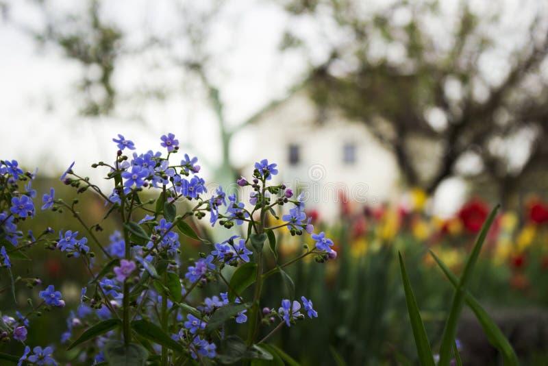 Mios?tis azuis Myosotis, gramas do escorpi?o no fundo de tulipas brilhantes e casas, um fundo bonito HOME imagens de stock