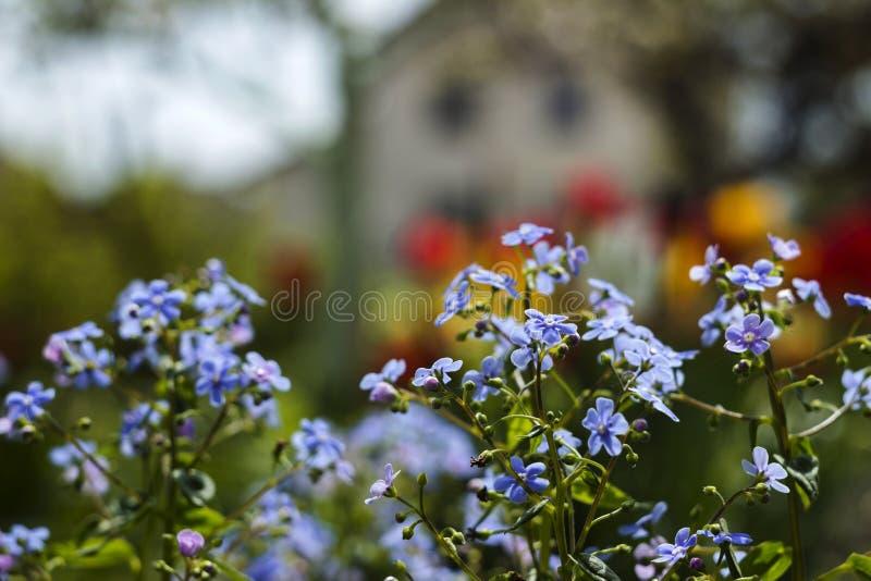 Mios?tis azuis Myosotis, gramas do escorpi?o no fundo de tulipas brilhantes e casas, um fundo bonito HOME fotos de stock royalty free
