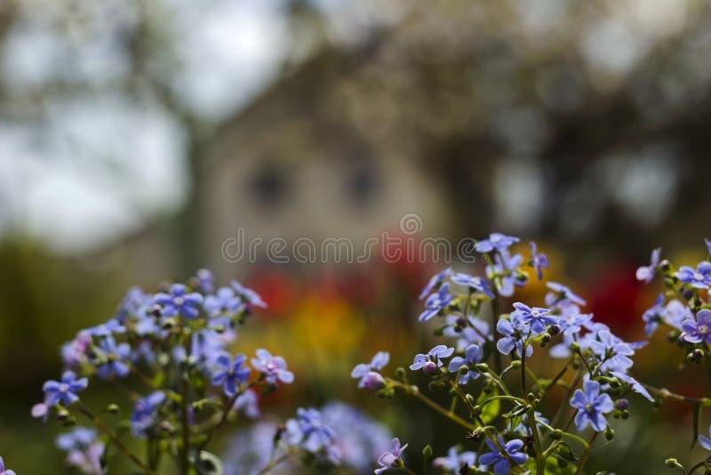 Mios?tis azuis Myosotis, gramas do escorpi?o no fundo de tulipas brilhantes e casas, um fundo bonito HOME imagem de stock