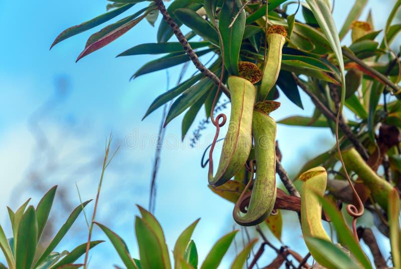 miotacz mięsożerna roślina Dzbanecznika albomarginata obrazy stock