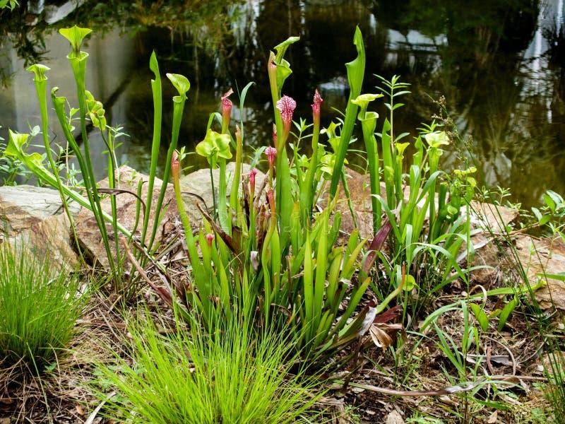 Miotacz rośliien Sarracenia Purpurea zdjęcia royalty free