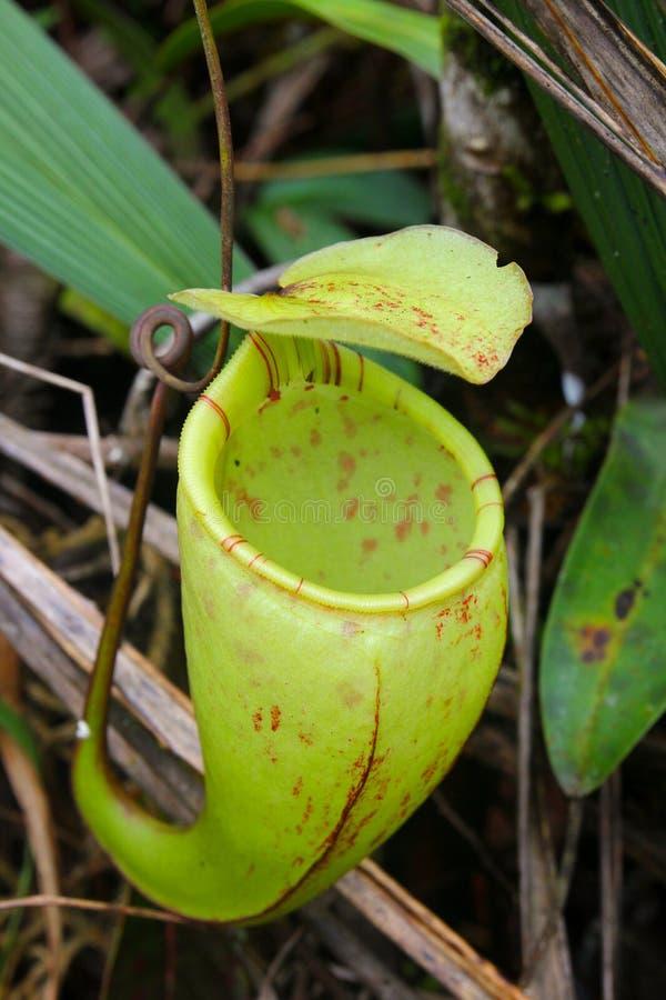 Miotacz roślina - dzbanecznika macfarlanei fotografia stock