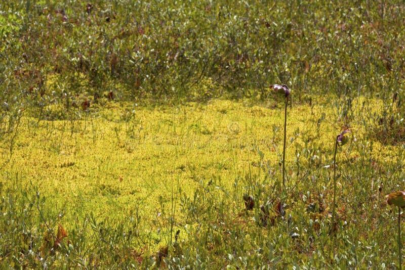 Miotacz roślina kwitnie w New Hampshire torfowiskowym bagnie zdjęcia royalty free