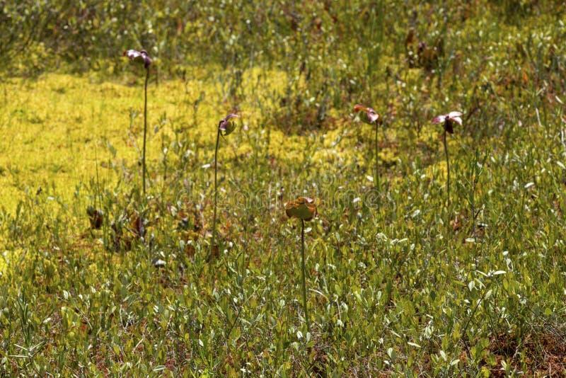 Miotacz roślina kwitnie w New Hampshire torfowiskowym bagnie fotografia stock