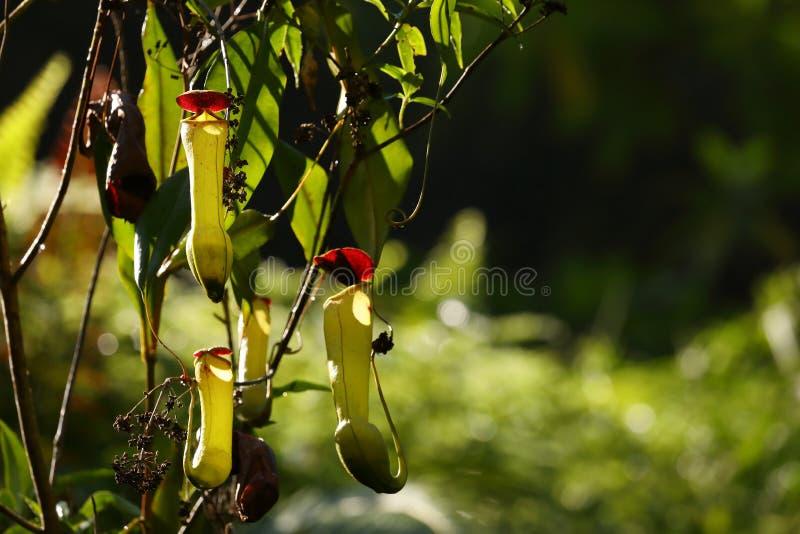 Miotacz roślina w Sinharaja dżungli Sri Lanka zdjęcie stock