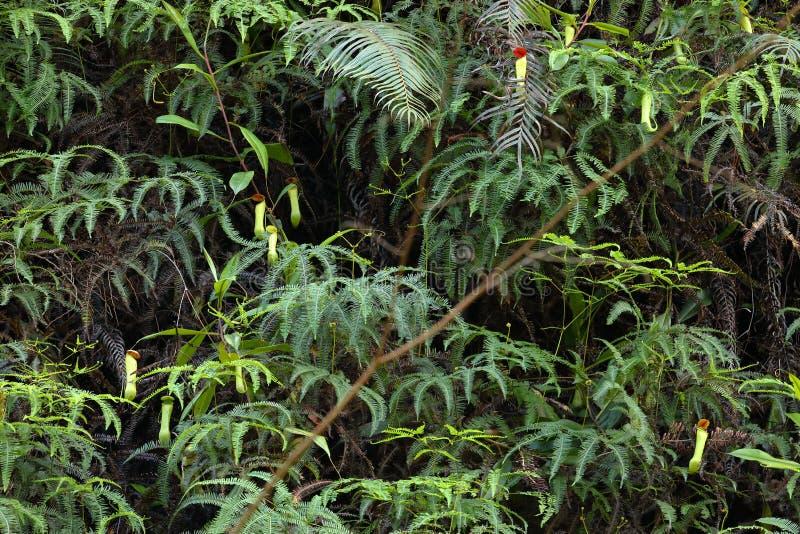 Miotacz roślina w Sinharaja dżungli Sri Lanka obraz royalty free