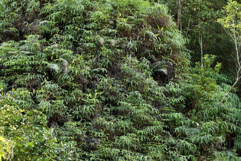 Miotacz roślina w Sinharaja dżungli Sri Lanka zdjęcia stock