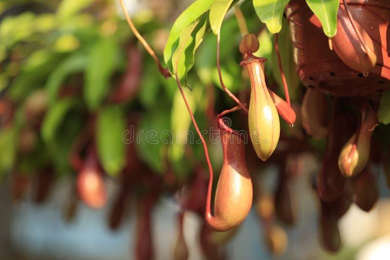 Miotacz rośliny fotografia royalty free