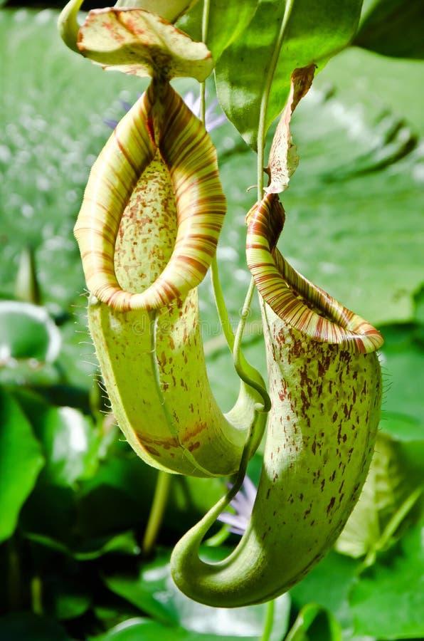 Miotacz rośliny obraz royalty free
