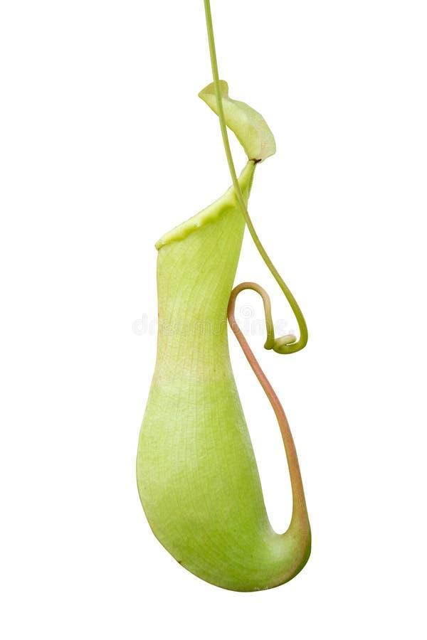Miotacz rośliny dzbaneczniki mięsożerna tropikalna roślina i winograd odizolowywają na białym tle zdjęcie stock