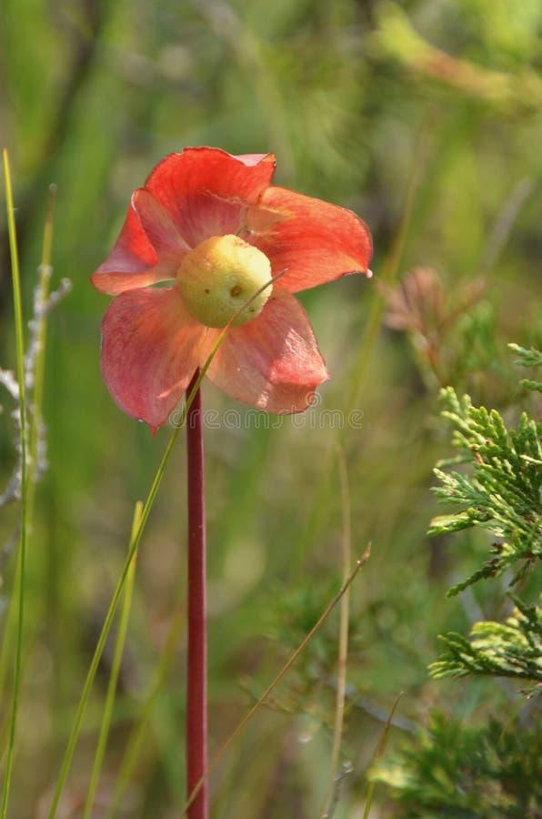 Miotacz rośliny kwiat zdjęcia stock