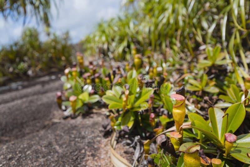 Miotacz rośliny na Mahe, Seychelles fotografia stock