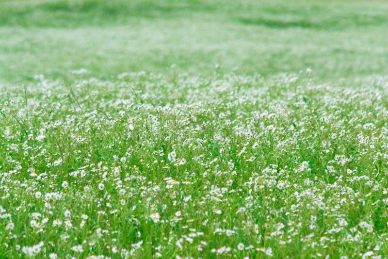 Miríades das margaridas brancas Monte verde Estação de verão fotografia de stock