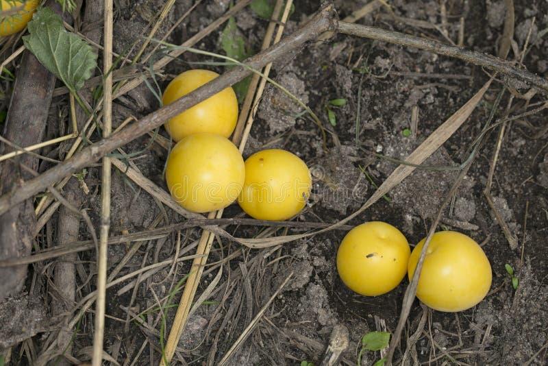 Mirabelki owoc jest na ziemi zdjęcie royalty free