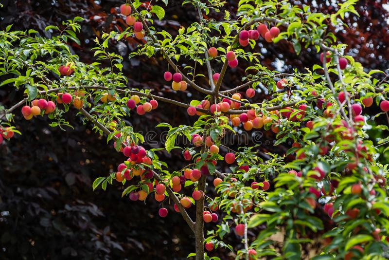 Mirabelle Plum Tree - prunus domestica fotografie stock