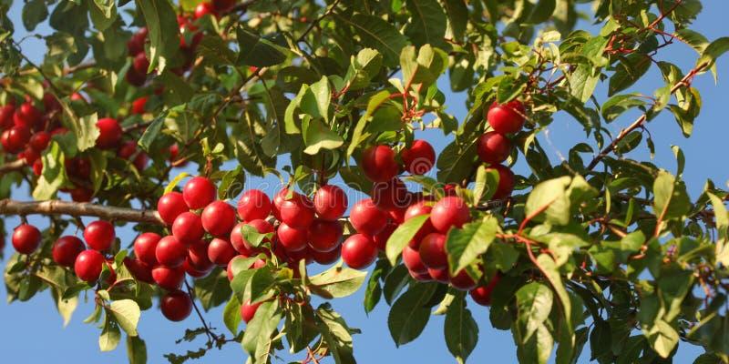 Mirabelle Plums roja/poda el syriaca del domestica del Prunus que crece en las ramas de árbol, encendidas por el sol fotos de archivo
