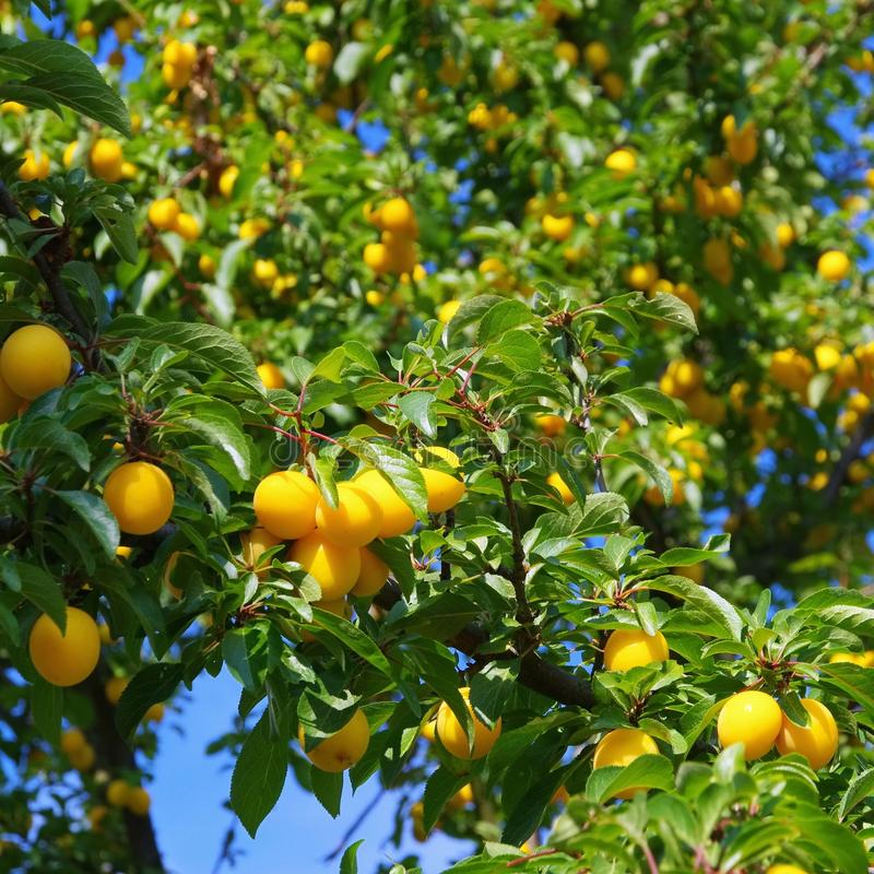 Mirabelle plums at the tree. Yellow ripe mirabelle plums at the tree royalty free stock image