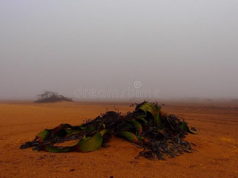 Mirabilis Вельвичии в тумане стоковые изображения rf