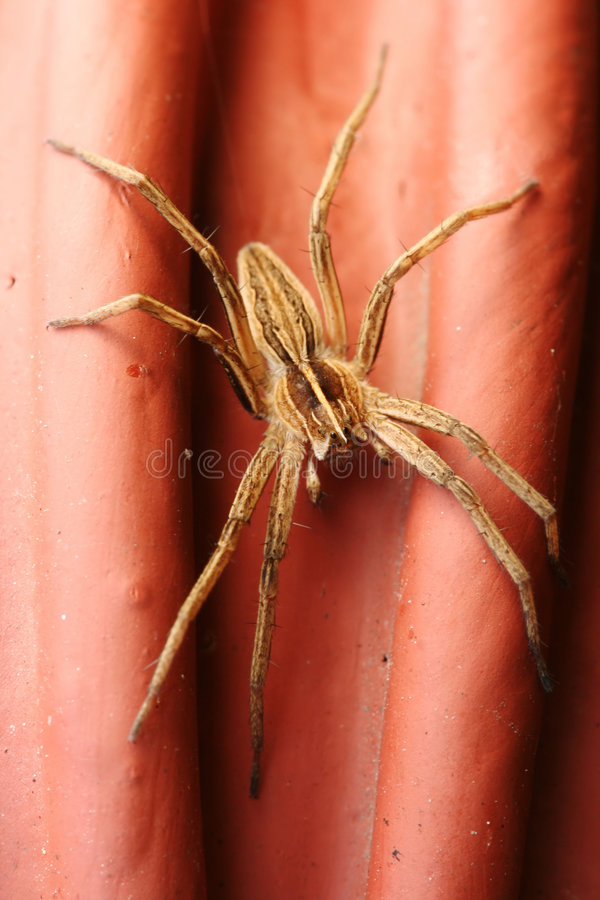 Mirabilis de Pisaura d'araignée photos stock