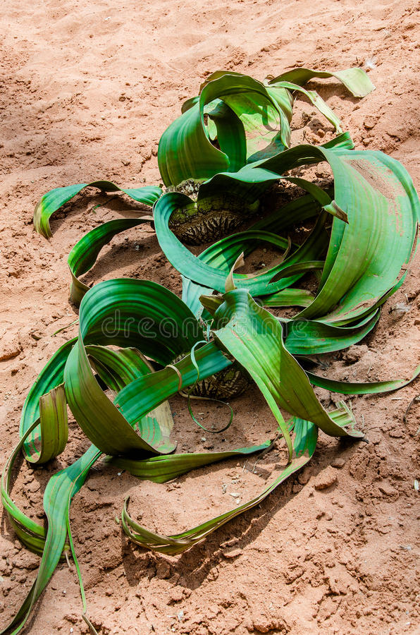 Mirabilis de Welwitschia photographie stock