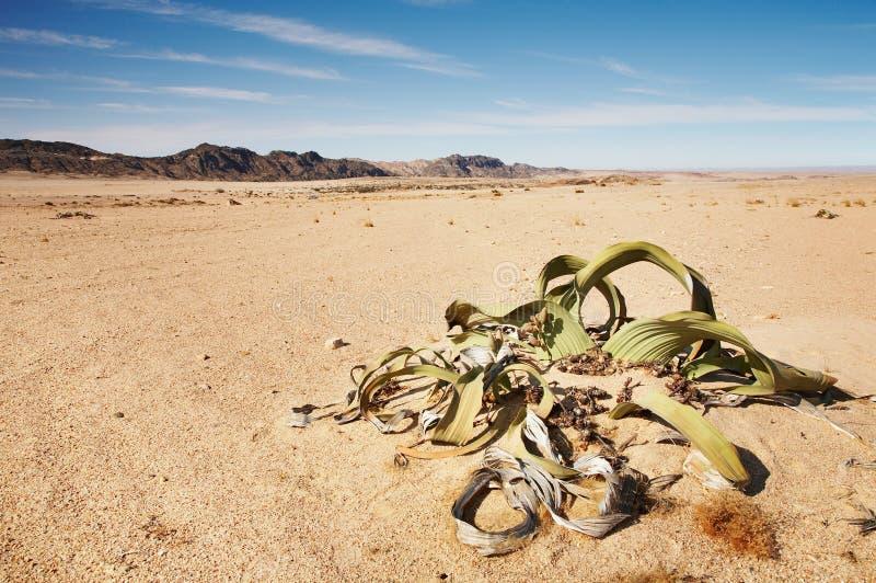 Mirabilis del Welwitschia fotos de archivo