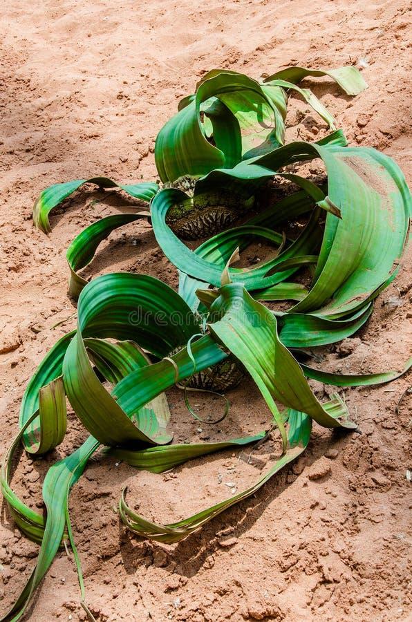 Mirabilis del Welwitschia fotografía de archivo