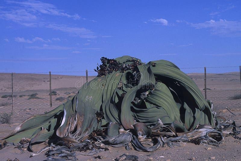 Mirabilis del Welwitschia imágenes de archivo libres de regalías